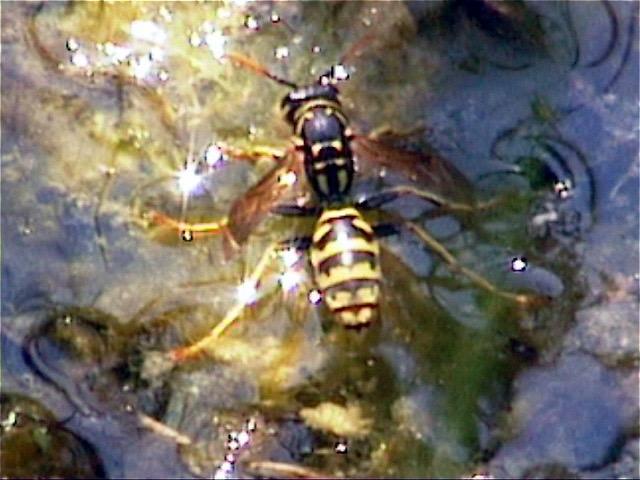 Wespe trinkt im Teich