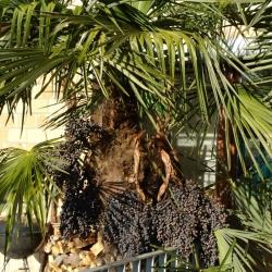 Palmfüchte