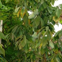 PawPaw am Baum