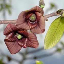Indianerbanane Blüte