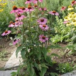 Purpurfarbener Sonnenhut Echinazea purpurea
