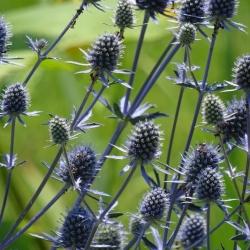 Alpenmannstreu, Eryngium alpinum